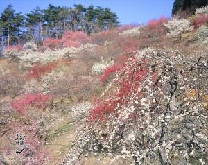 [梅の開花情報付] 東京都内と千葉・埼玉・神奈川の観梅スポット~各地で梅見のお祭も開催~