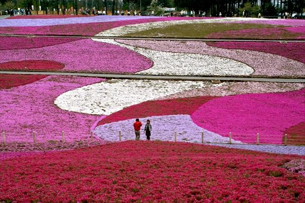 秩父・芝桜まつり2016開催中(@羊山公園)! 最新開花状況、アクセス、混雑情報など