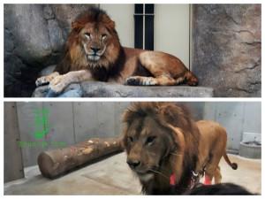 千葉県にライオンが初上陸したぞ!千葉動物公園のトウヤとアレンに会いに行ってきた!