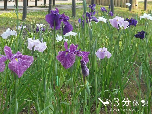 そろそろ見頃の時期?関東(東京・千葉・神奈川・埼玉)の菖蒲園を紹介(2016)