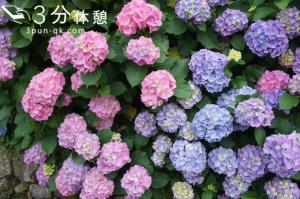 東京23区内のあじさい名所! 江戸風情あふれる梅雨のお花見スポット