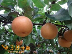 梨狩りシーズン!関東近県(東京、千葉、埼玉、神奈川)の梨狩りスポット紹介