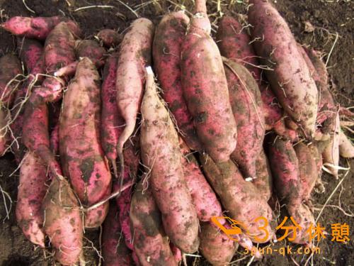 さつま芋などの芋掘りシーズン!関東近県(東京、千葉、埼玉、神奈川)の芋掘りスポット紹介
