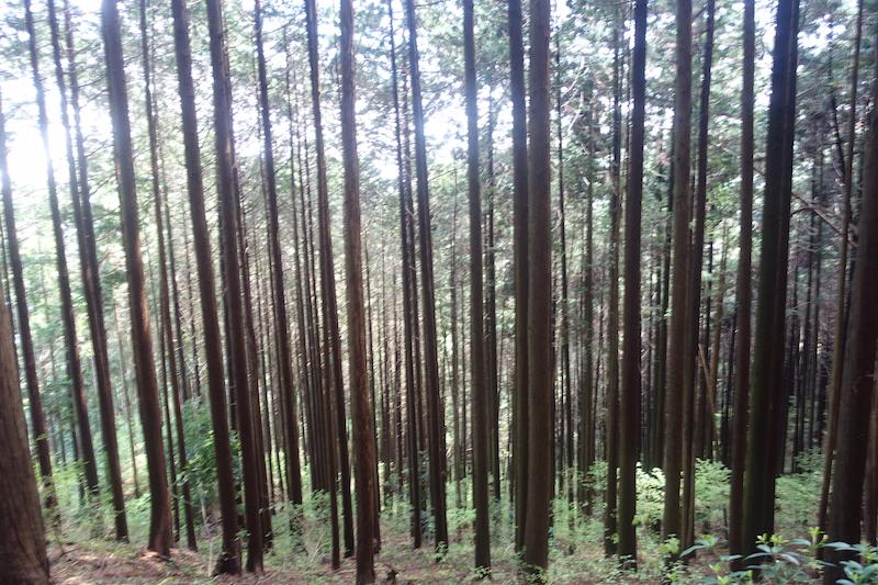 日の出山の杉並木